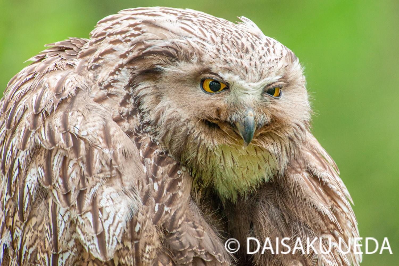 (C) DAISAKU UEDA Wildlife Photograph 4